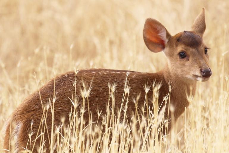 Le cerf cochon est né en juillet