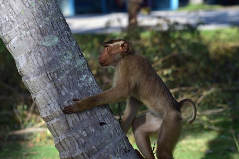 Un macaque (illustration).