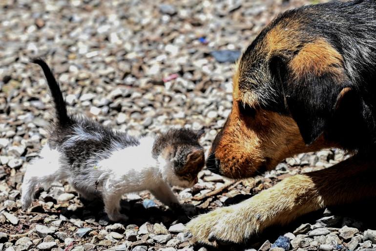 Les chiens et les chats qui souffrent de fièvre, toux ou difficultés respiratoires peuvent être testés pour le coronavirus en Corée du Sud (illustration)