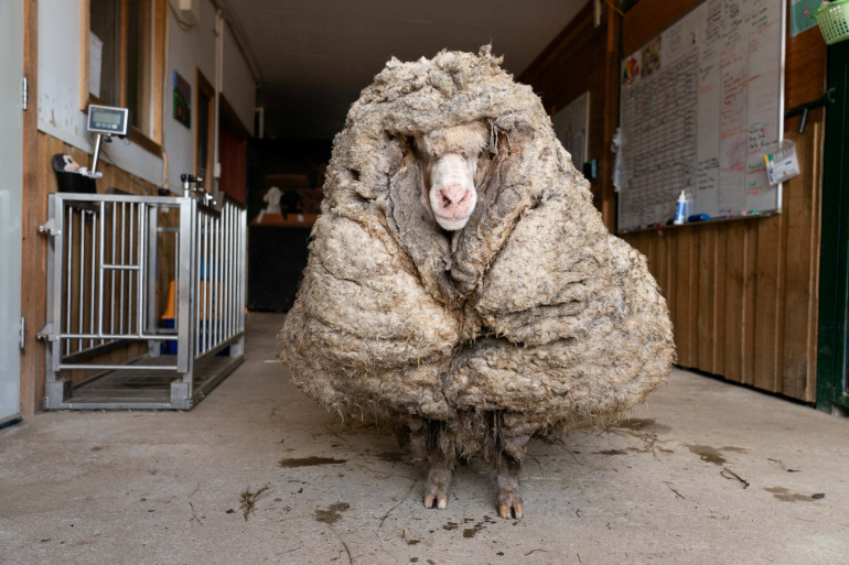 """""""Baarack"""", un mouton sauvage qui a été retrouvé en Australie avec une toison de 35 kg, le 25 février 2021."""