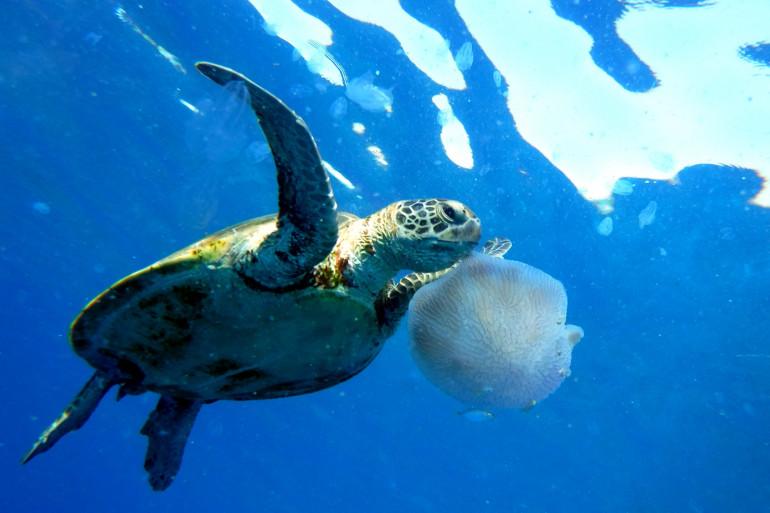 La tortue verte est menacée à la Réunion et en Martinique.