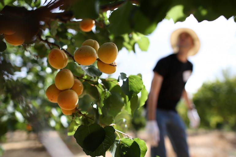 """Une norme impose à la vente directe d'abricots """"les règles de calibrage et d'emballage actuellement en vigueur pour les détaillants"""" (illustration dans une ferme d'abricots)"""