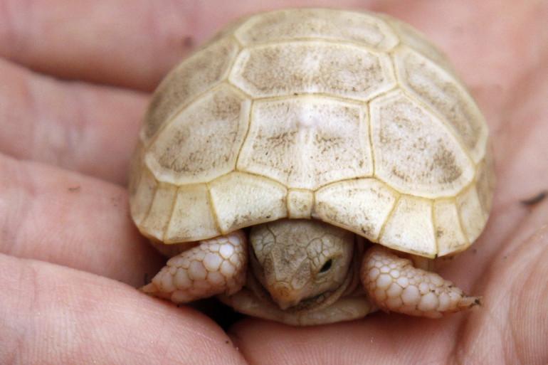 Une tortue albinos (illustration)