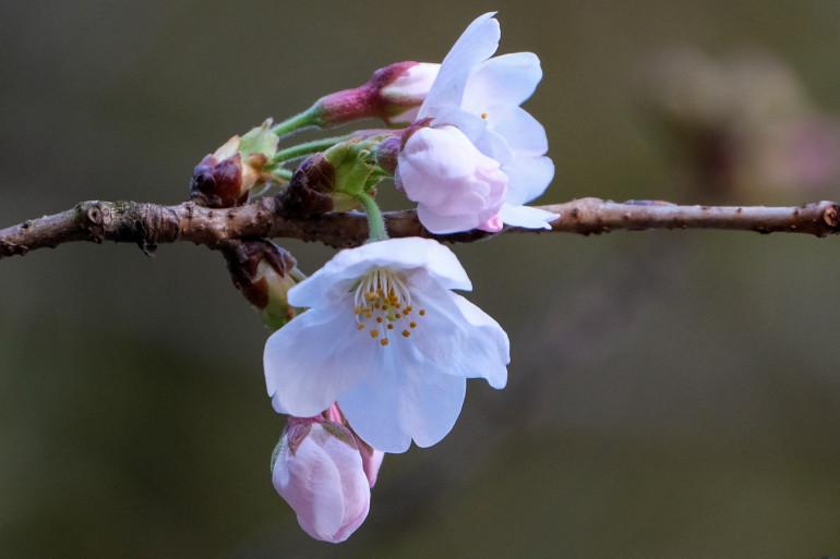 Un cerisier en fleur au Japon (illustration)