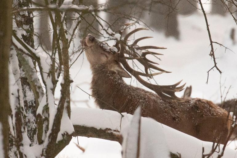 Le cerf va bientôt perdre son originale décoration en raison de la mue printanière. Photo d'illustration.