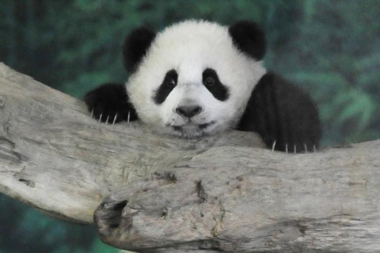 Yuan Zai, bébé panda star à Taïwan