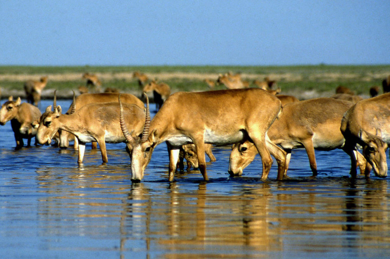 Des antilopes saïga (image d'illustration)