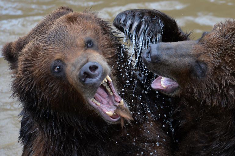 Deux grizzlys au zoo de La Flèche en mars 2016