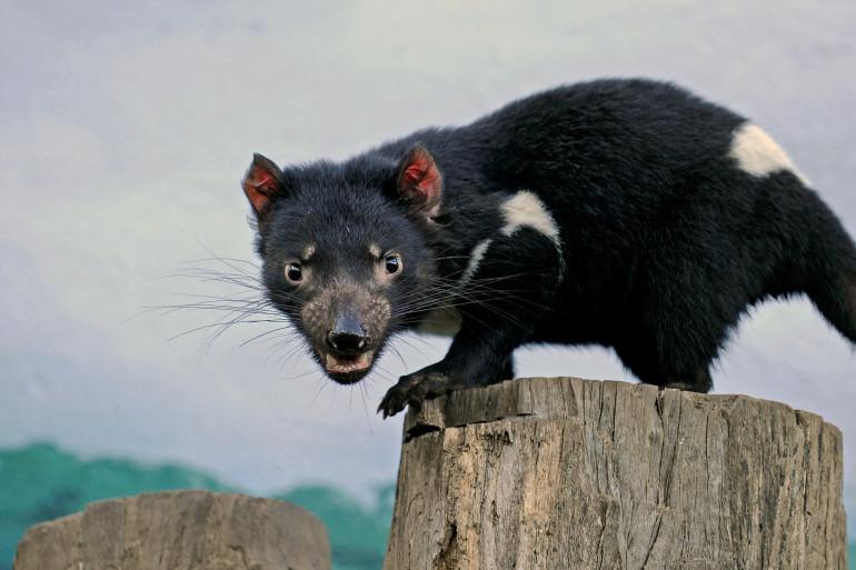 Cet adorable animal est le célèbre diable de Tasmanie, une espèce menacée. Celui-ci a été photagraphié au zoo de Sydney, qui joue un rôle important à la préservation de ce marsupial carnivore