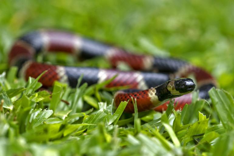 Un serpent (photo d'illustration)