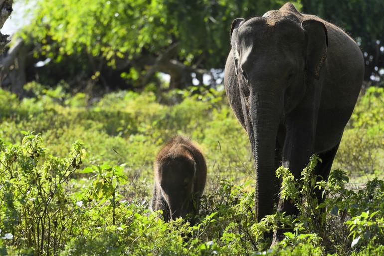 Sur cette photo prise le 3 octobre 2020, des éléphants sri-lankais marchent dans le parc national de Yala, dans le district sud de Yala, à quelque 250 km au sud-ouest de Colombo. (Illustration)