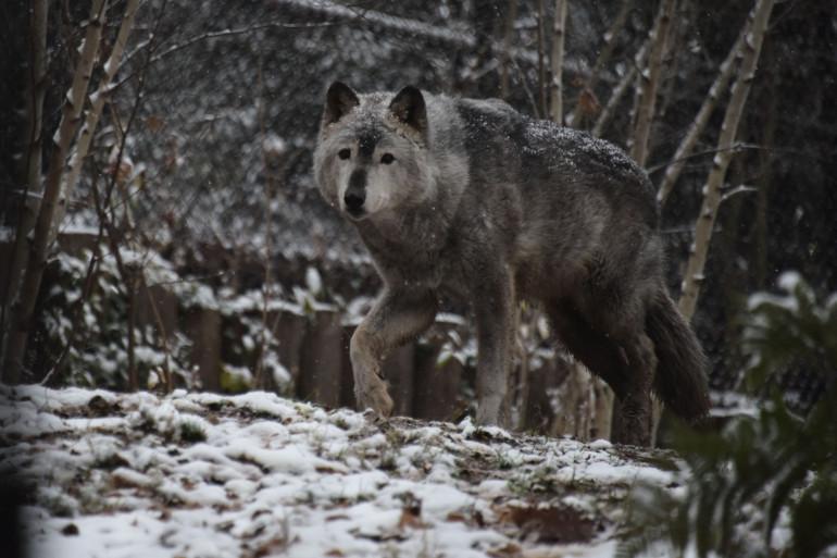 Un loup gris (illustration).