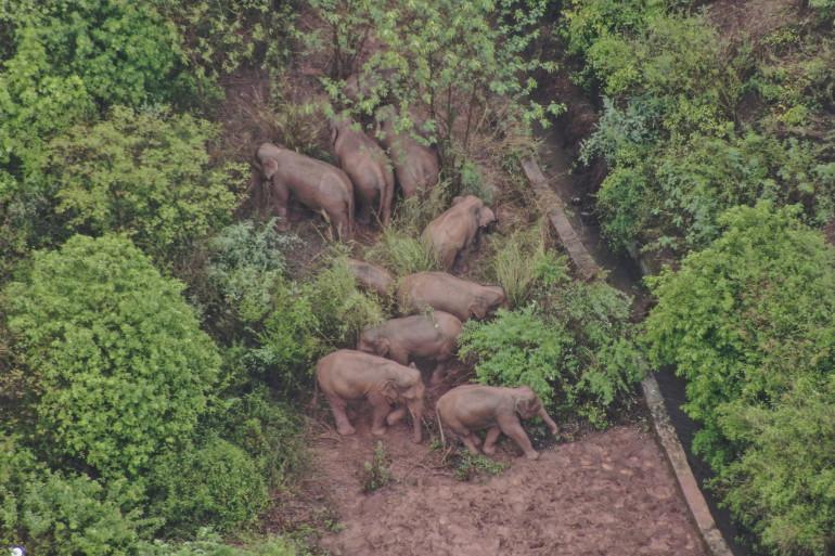 Un troupeau d'éléphants sauvages a entrepris depuis plusieurs semaines une randonnée dans le Sud-Ouest de la Chine