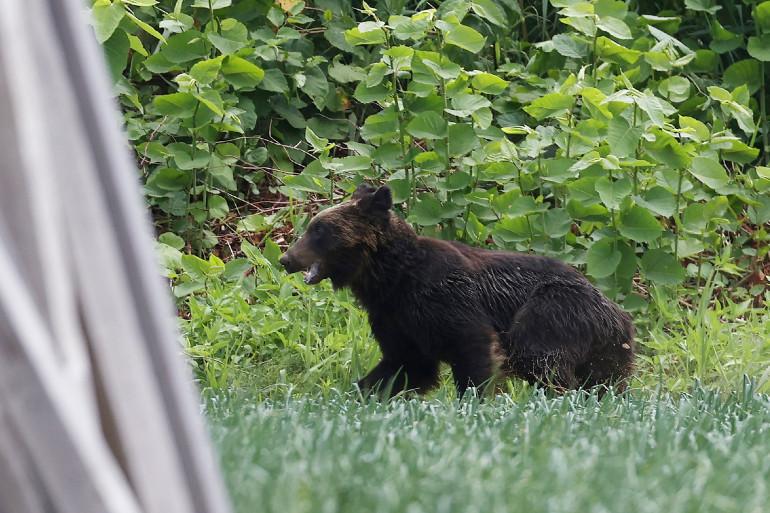 L'ours qui a semé la panique à Sapporo, au Japon