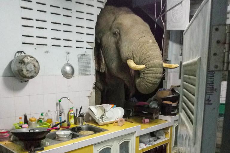 Cette photo prise le 20 juin 2021 par Kittichai Boodchan, montre un éléphant à la recherche de nourriture dans la cuisine de sa maison dans l'ouest de la Thaïlande. (Illustration)