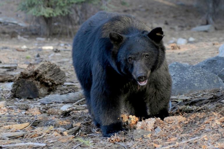 Un ours noir de près de 135 kilos (illustration).