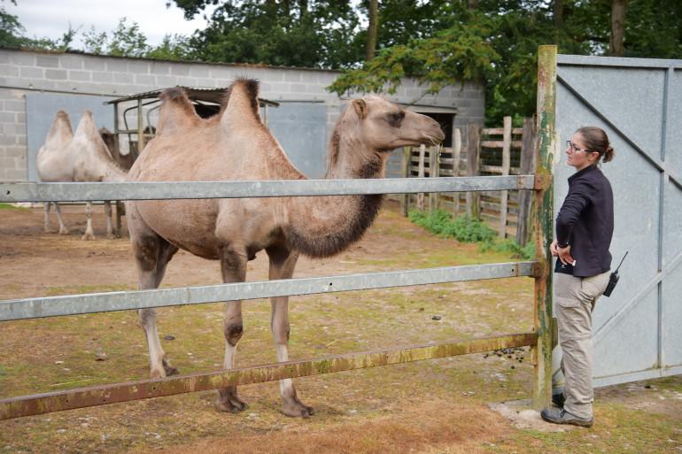 Un chameau dans un zoo français.