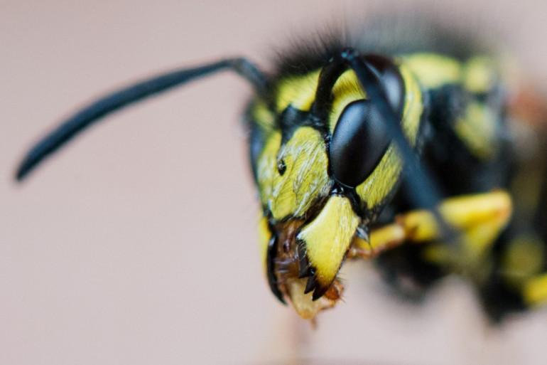 Les guêpes sont des insectes qui peuvent perturber vos repas pendant l'été