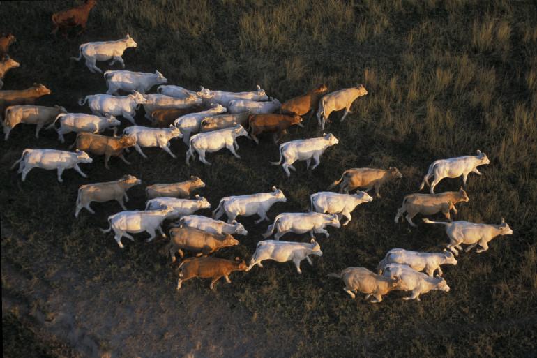 Vue aérienne d'un troupeau de bœufs (image d'illustration)