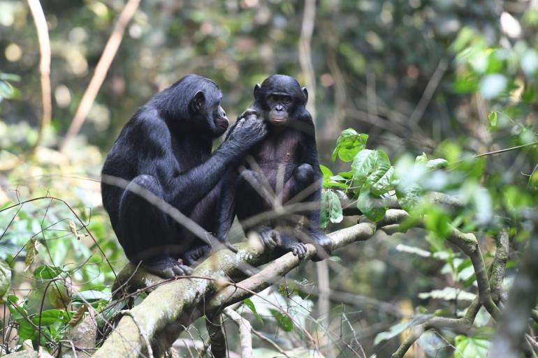 Des singes Bonobos qui interagissent.