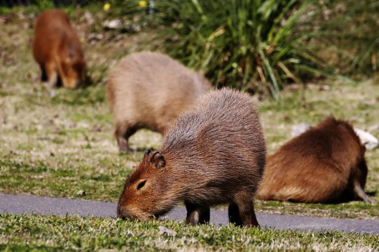 Capybara en Argentine