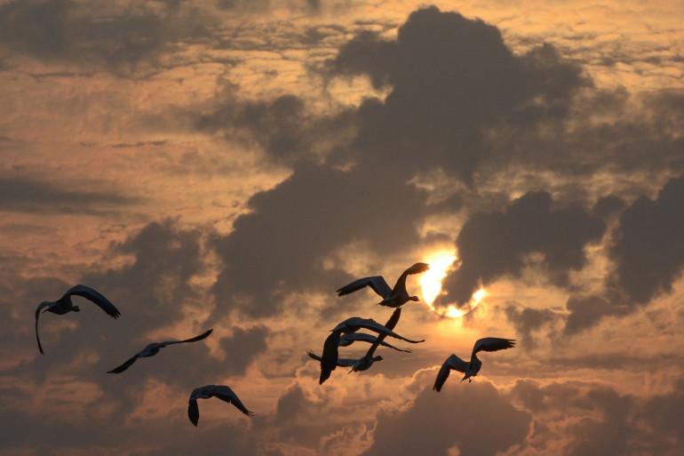 Des oiseaux migrateurs (Illustration).