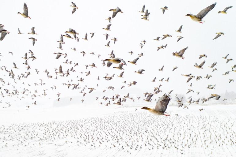 Oies à pieds roses à la rencontre de l'hiver