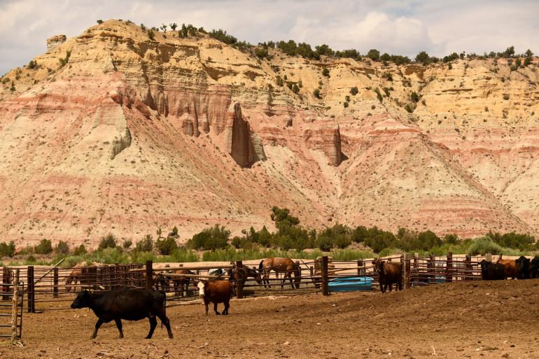 Bovins et chevaux dans un corral le long d'une autoroute à travers le Grand Staircase-Escalante National Monument dans l'Utah le 21 juillet 2021.