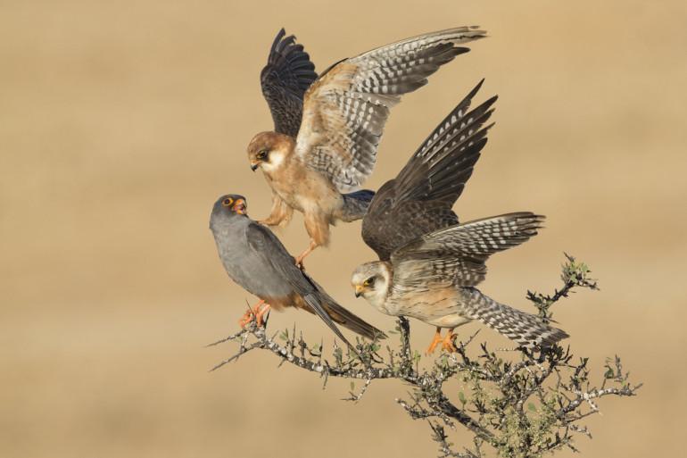 """Le gouvernement relance la chasse aux oiseaux """"traditionnelle"""" (illustration)"""