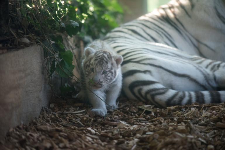 Le bébé tigre est mort par étouffement lors d'un repas.