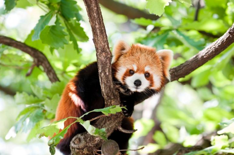 Deux pandas roux sont à obsverver au Natur'Zoo de Mervent, en Vendée.