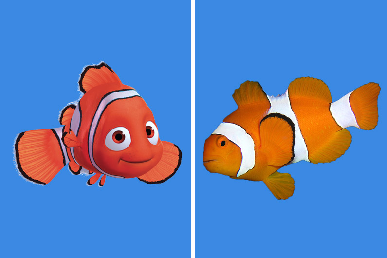 """Nemo, le célèbre personnage du """"Monde de Nemo"""", qui a déclenché un véritable engouement du public pour les poissons clowns"""