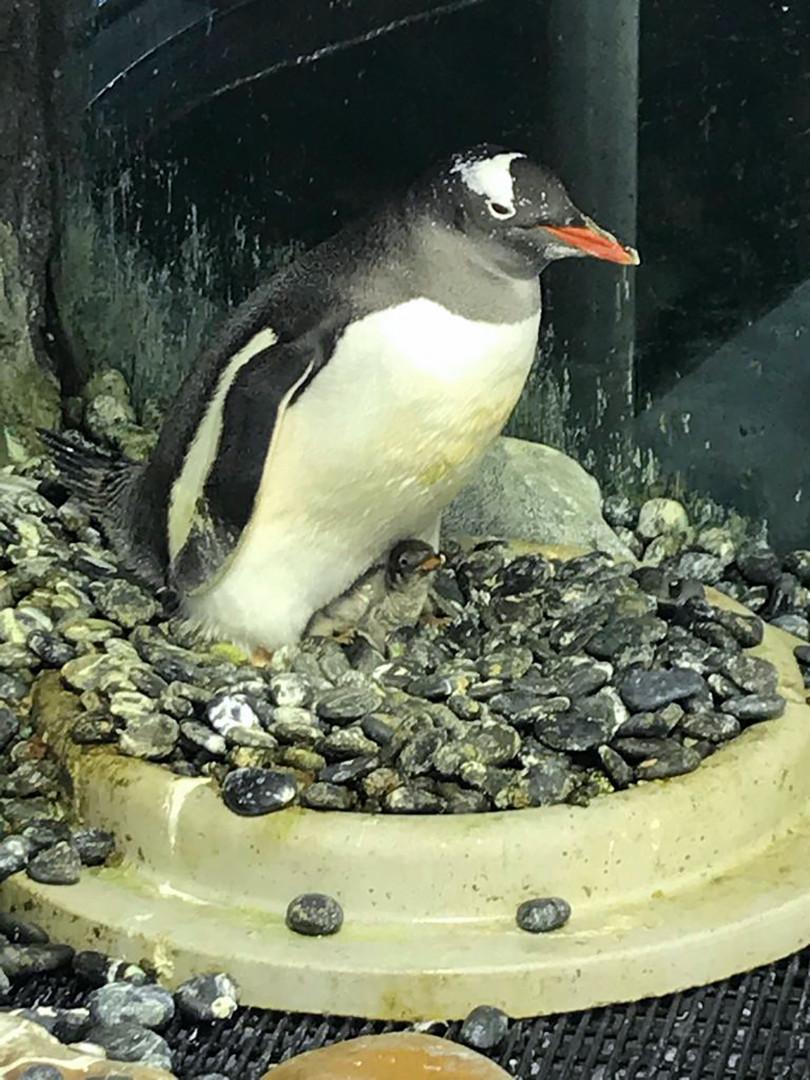 Un pingouin mâle qui couve Sphengic, un bébé pingouin