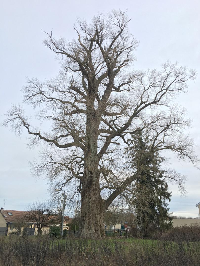 La Pouplie, arbre de l'année 2020