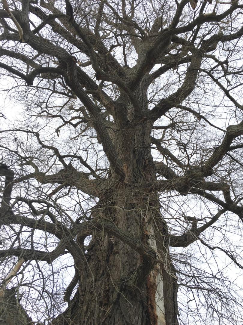 Les impressionnantes branches de La Pouplie