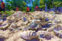 Les palourdes géantes découvertes sur île Johnson (Philippines).
