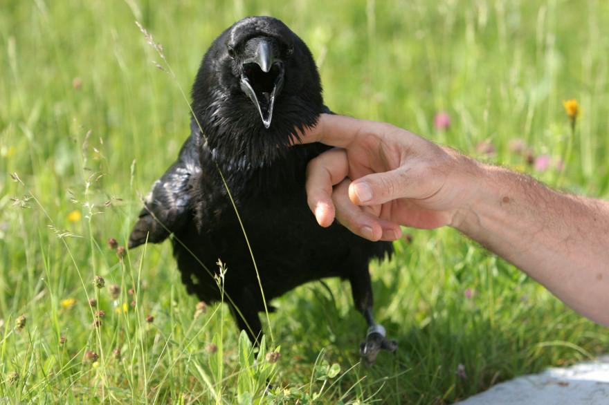 Un corvo lascia che un uomo lo avvicini - fondo iStock