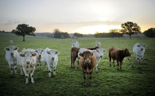 Des vaches dans l'ouest de la France (archives)