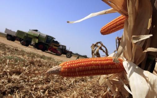 Des plants de maïs OGM en Egypte, en septembre 2008 (illustration).