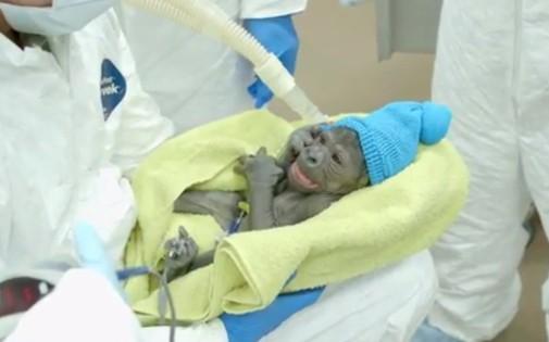 Le bébé gorille né à San Diego vendredi 14 mars 2014 pèse 2,9 kg