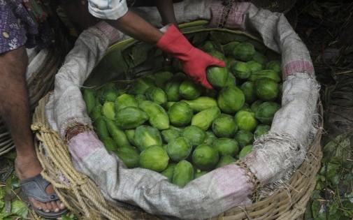 La récolte de papayes en Inde