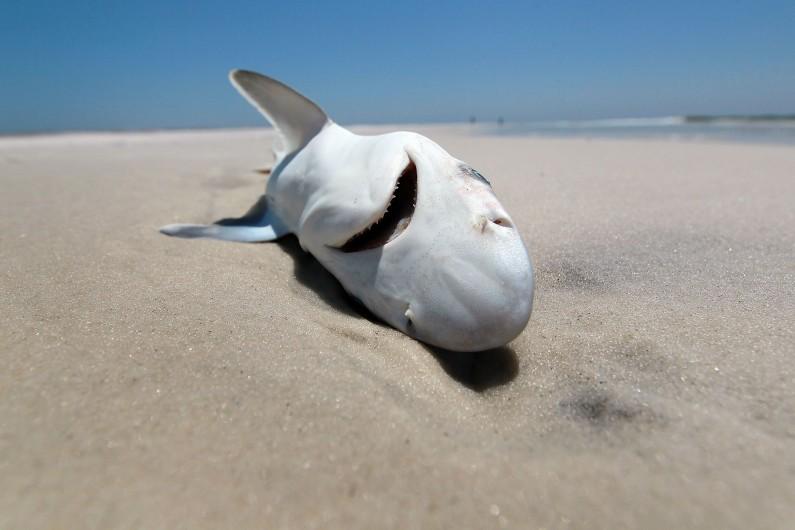 Un requin mort de la pollution en Islande.