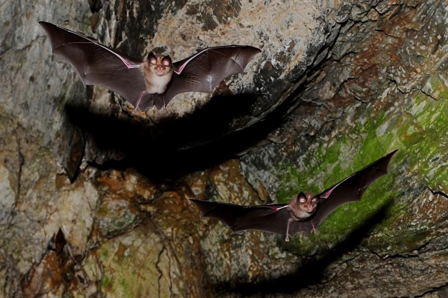 La présence de chauves-souris dans une région pourrait entraîner les risques de diffusion de coronavirus.