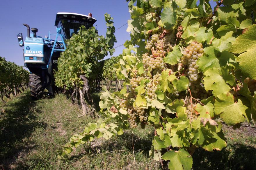 Vendanges dans un vignoble bordelais (illustration)