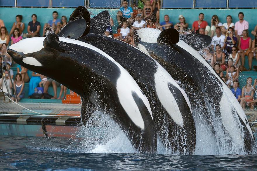 Des orques au Marineland d'Antibes en 2013