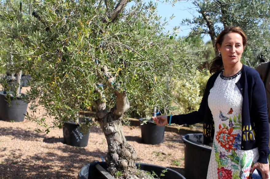 Ségolène Royal près d'un olivier lors d'une visite à Porto-Vecchio en Corse