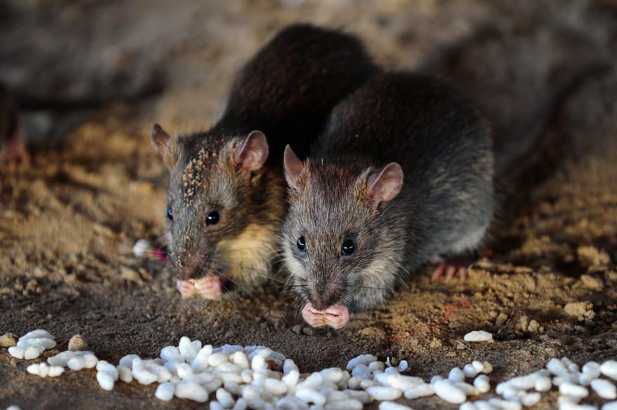 Des rats en Inde (illustration)