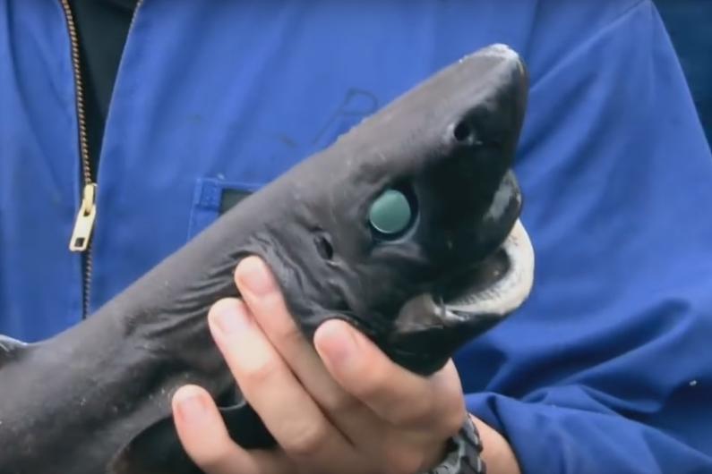Le requin lanterne-ninja vient d'être officiellement identifié