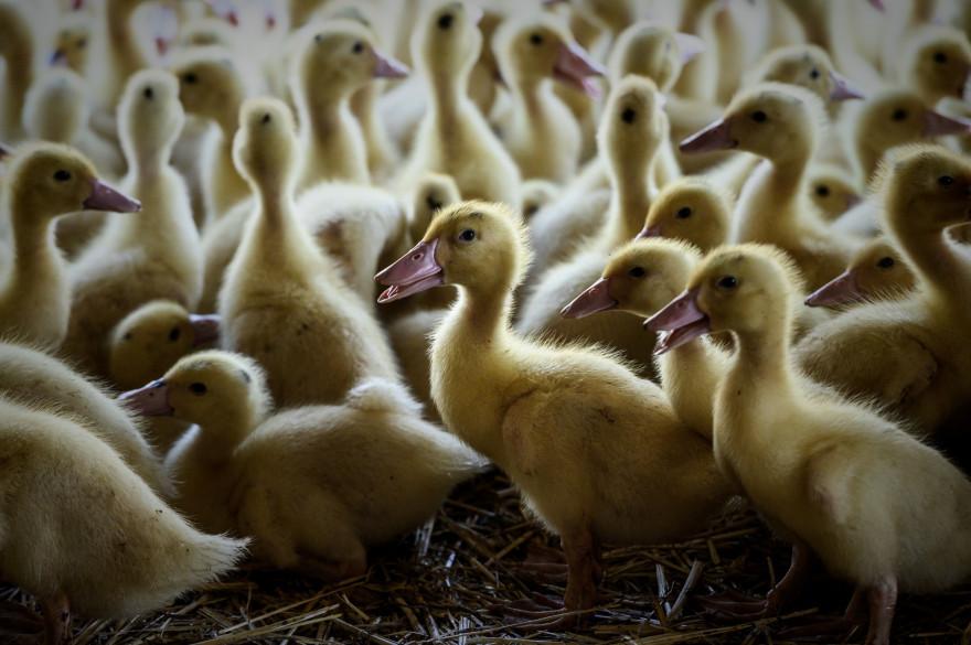 Un élevage de canards (illustration).