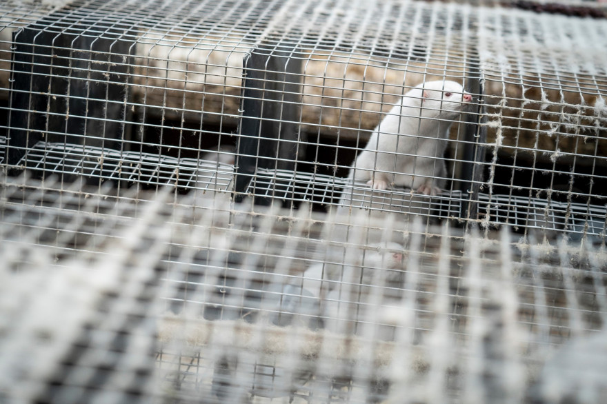 Au Danemark, des visons en décomposition, abattus en raison de la crise sanitaire, pourraient avoir contaminé les eaux.